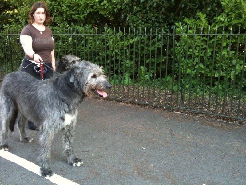 Irish Wolfhound Wolf Mix Second irish wolf hound
